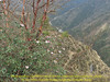 Rhododendron cf griffithianum,(6 flowers, underside leafs glabrous, green) Monjo 2900m-Namche Bazaar-Tengboche-Deboche 3630m