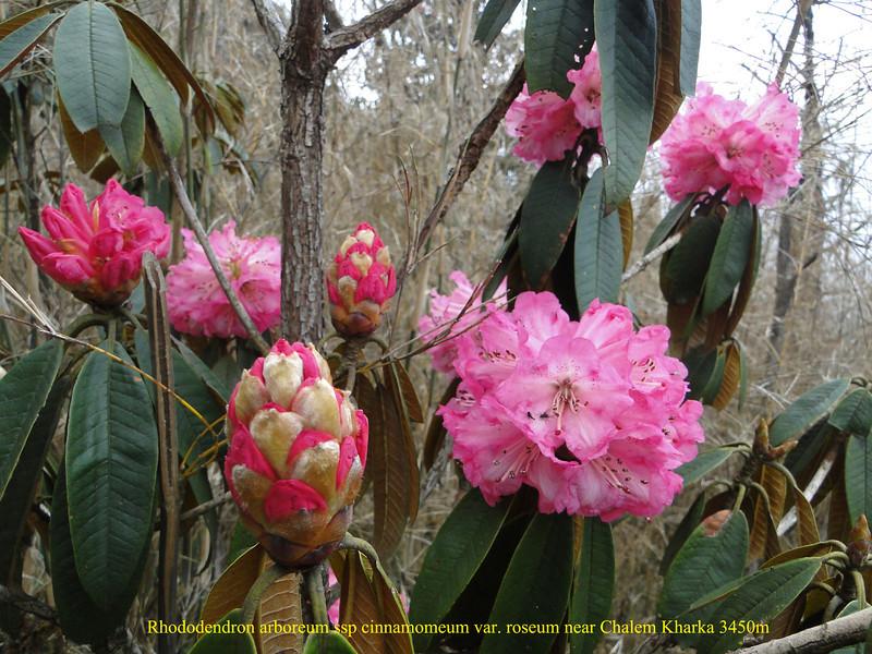 Rhododendron arboreum ssp cinnamomeum var. roseum,( undersite leave, indumentum whitish-brown) near Chalem Kharka 3450m