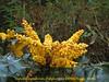 Mahonia napaulensis, Puyan 2725m-Pangkongma 2850m