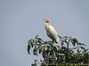 Bubulcus ibis, Cattle Egret,(NL:koereiger) Kathmandu