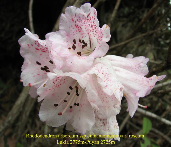 Rhododendron arboreum ssp cinnamomeum var. roseum,( undersite leaf, indumentum whitish)  Lukla 2775m-Puyan 2725m