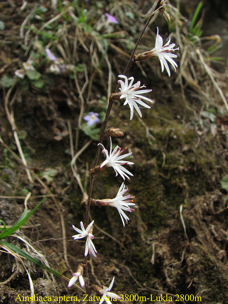 Ainsliaea aptera, Zatwrala 3800m-Lukla 2800m