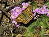Issoria lathonia, (NL: kleine parelmoervlinder) Queen of Spain Fritillary on Primula  gracilipes, Kothe 3700m-Zatwrala 3800m (Identification by Adrian Hoskins, U.K.)