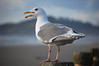 Seagull in Newport