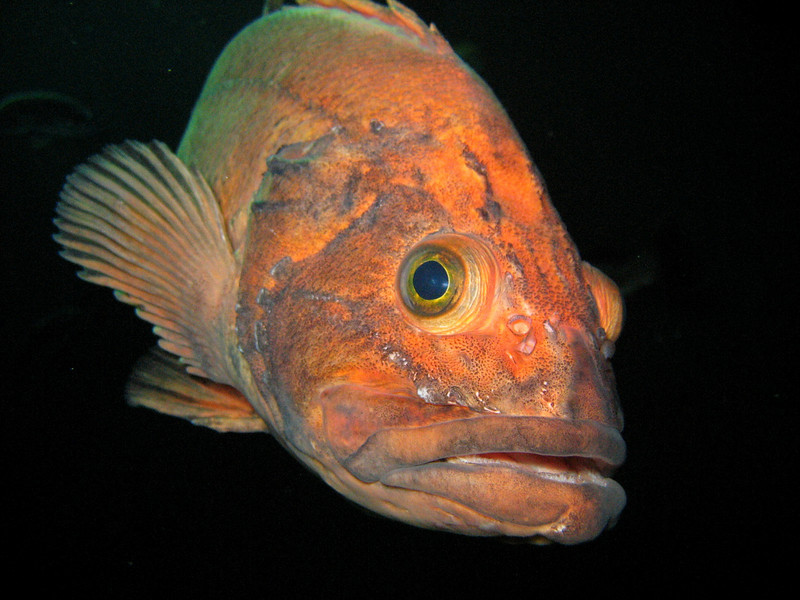 Adult Yelloweye Rockfish in the Oregon Coast Aquarium