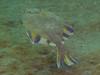 Starry Flounder