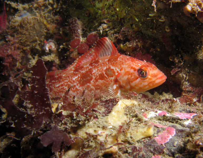 Whitespotted Greenling