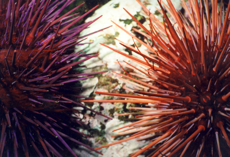 Red Sea Urchins in color variations