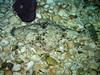 Pacific Halibut (in Oregon Coast Aquarium)