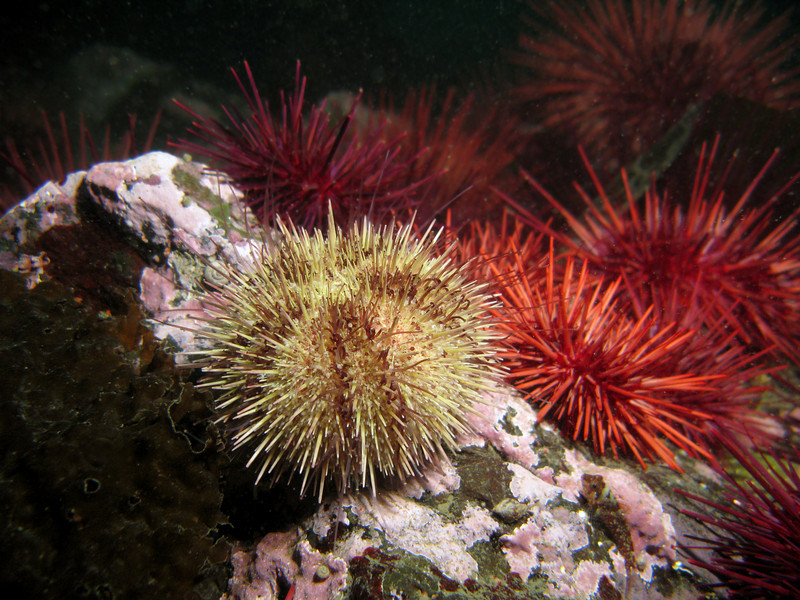 Green Sea Urchin in front of Red Sea Urchins