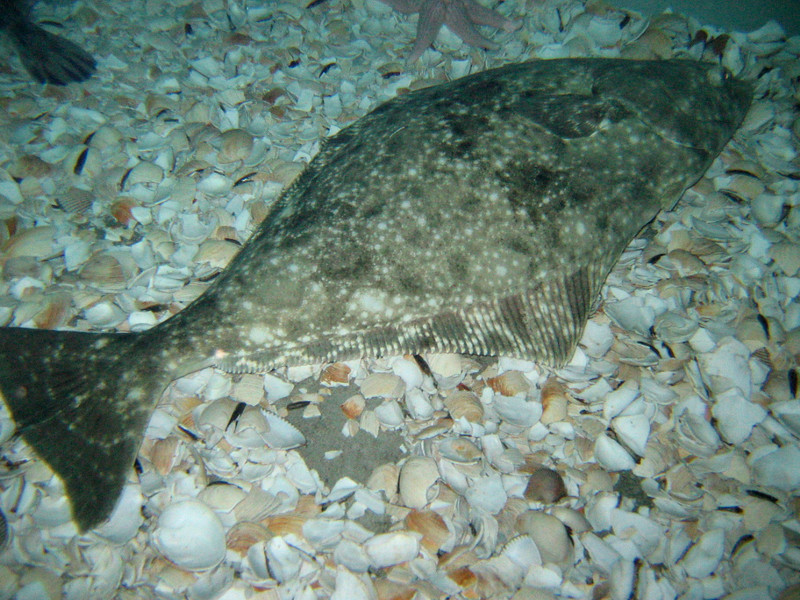 Pacific Halibut (in Oregon Coast Aquarium)