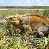 Caribbean Islands Hotspot, San Salvador Rock Iguana, © William Hayes