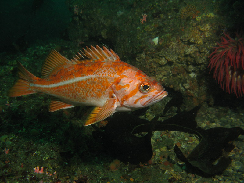 Canary Rockfish - Neah Bay area