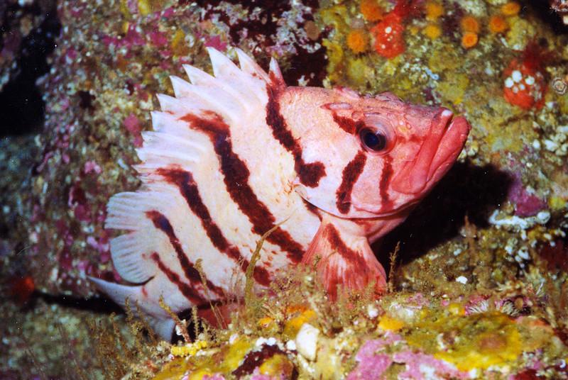 Tiger Rockfish - Barkley Sound, BC area