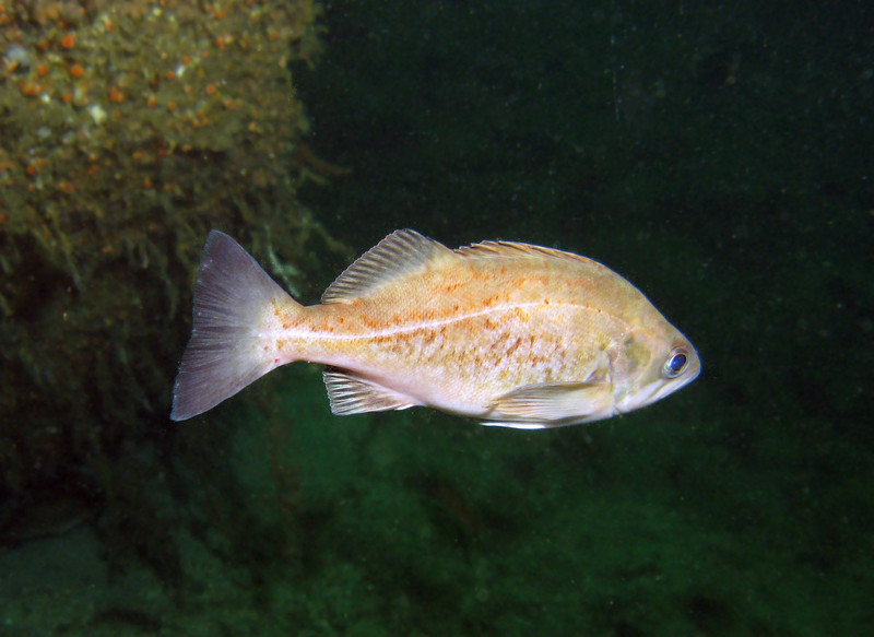 Widow Rockfish - Barkley Sound, BC area