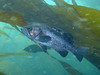 Black Rockfish - Keystone, Whidbey Island, WA