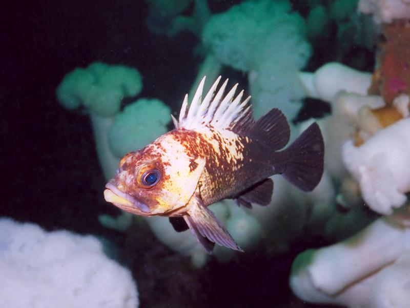 Quillback Rockfish - Barkley Sound, BC area