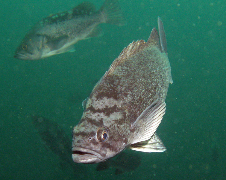 Blue rockfish (Blue-sided) - Neah Bay area