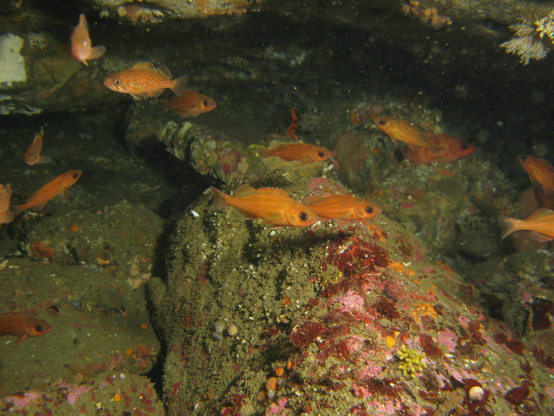 Puget Sound Rockfish - Neah Bay area