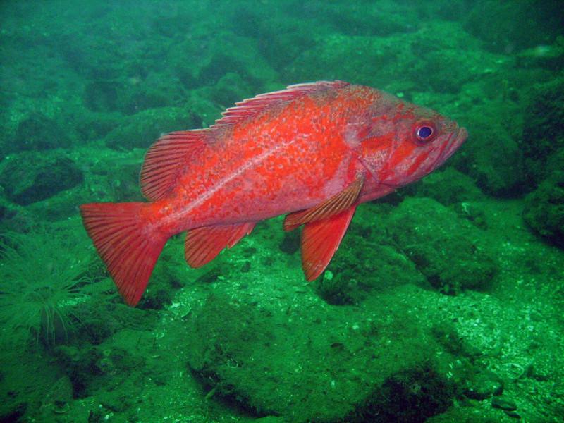 Vermilion Rockfish - Hood Canal area