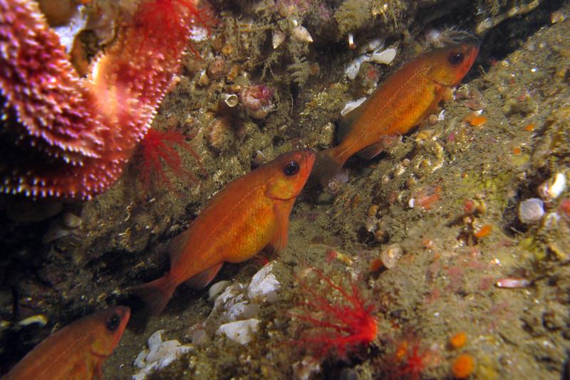 Puget Sound Rockfish - San Juan Islands