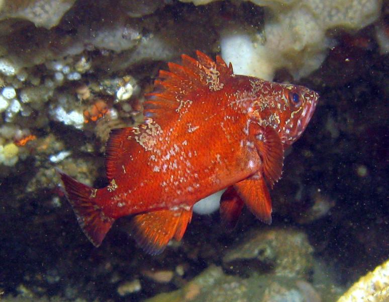 Vermilion Rockfish - Neah Bay area