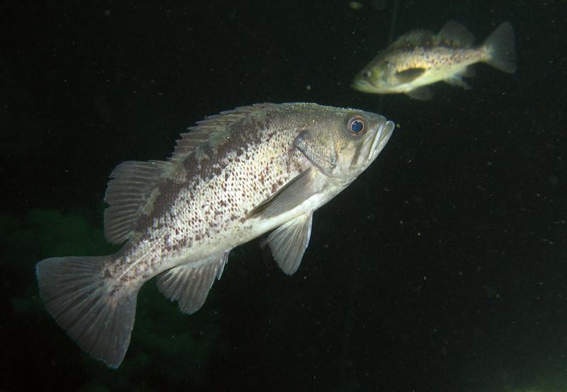Black Rockfish - Barkley Sound, BC area