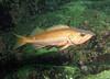 Bocaccio Rockfish - Barkley Sound, BC area
