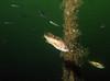 Yellowtail Rockfish - Barkley Sound, BC area