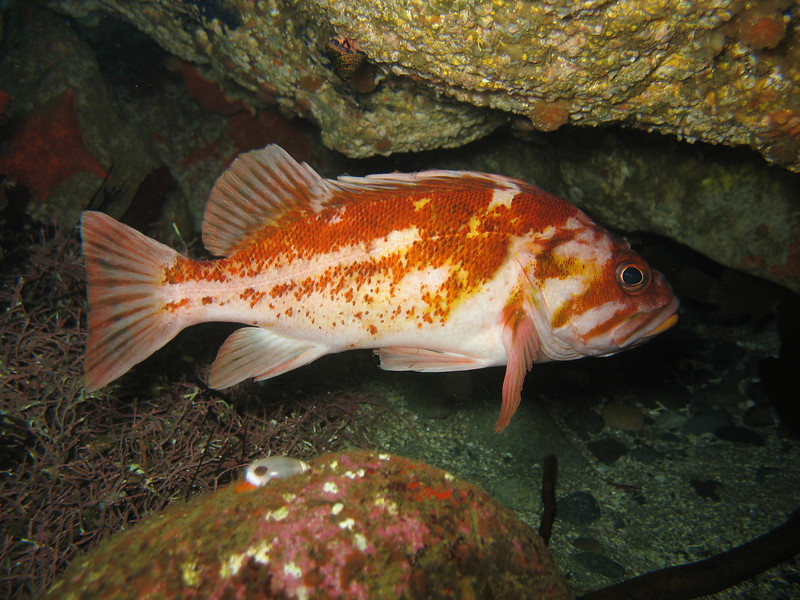 Copper Rockfish - Monterey Bay area