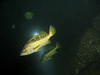Yellowtail Rockfish - Hood Canal area