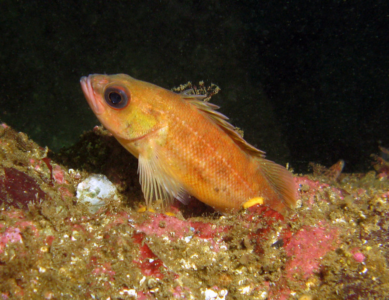 Puget Sound Rockfish - Barkley Sound, BC area
