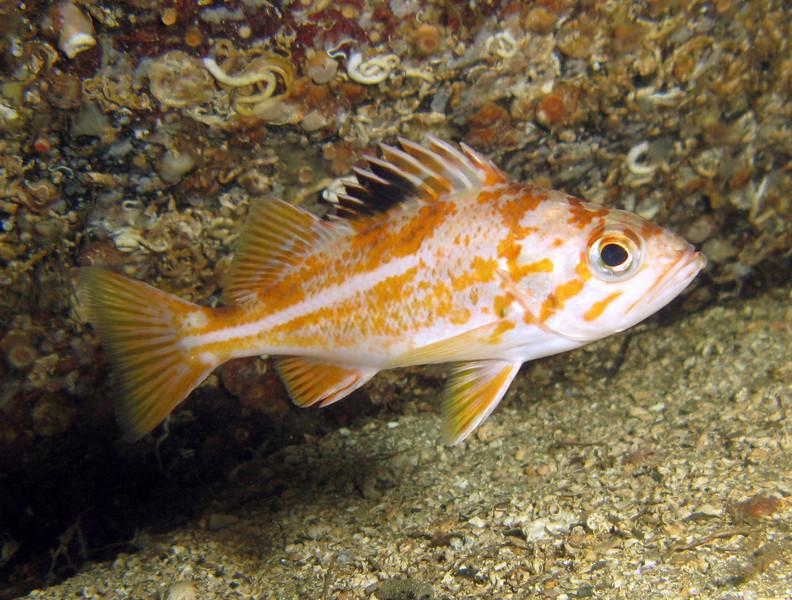 Canary Rockfish - Barkley Sound, BC area