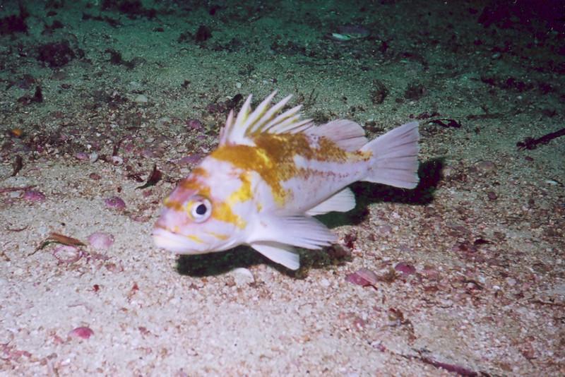 Copper Rockfish - Barkley Sound, BC area