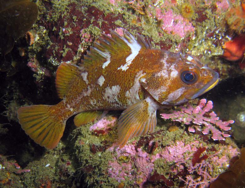 Gopher Rockfish - Monterey Bay area