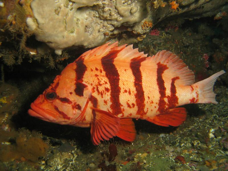 Tiger Rockfish - Neah Bay area