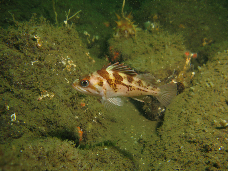 Copper Rockfish juv - Hood Canal area