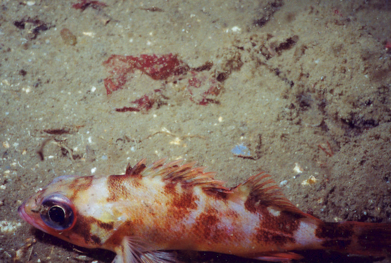 Sharpchin Rockfish? - Hood Canal area