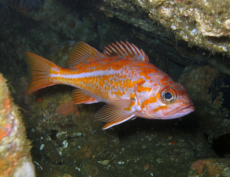 Canary Rockfish - Monterey Bay area