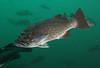 Blue rockfish (Blue-sided) - Neah Bay area