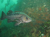 Black Rockfish - Neah Bay area
