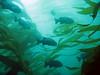 Blue rockfish (Blue-blotched) - Monterey Bay area