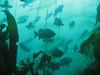 Black Rockfish - Neah Bay area