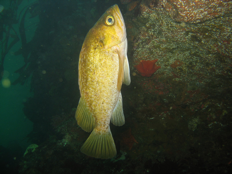 Kelp Rockfish - Monterey Bay area