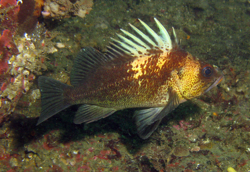 Quillback Rockfish - San Juan Islands