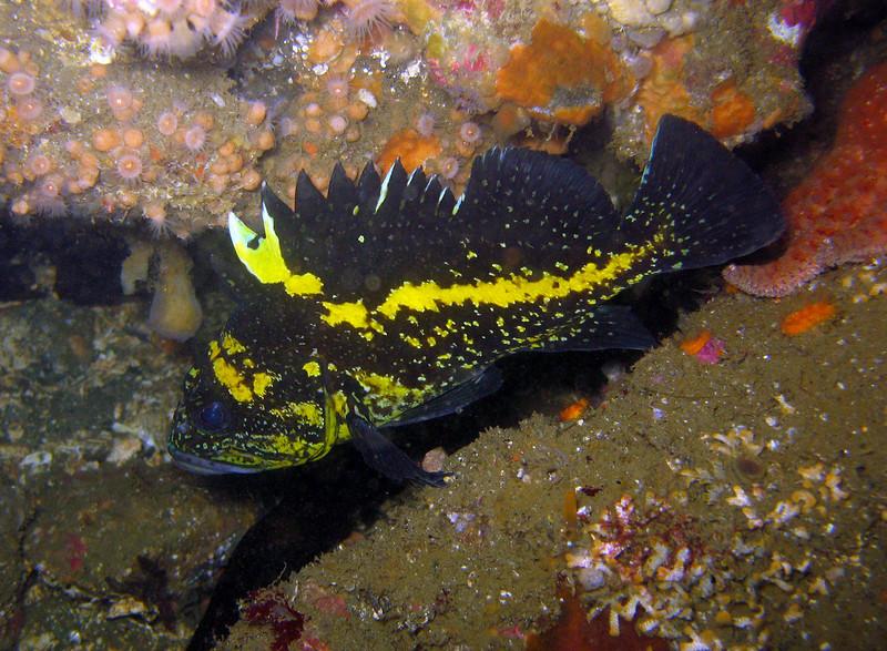 China Rockfish - Neah Bay area