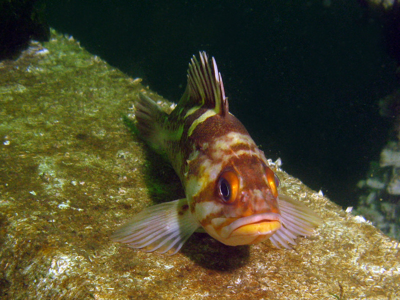 Copper Rockfish