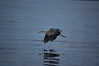 Blue heron Lopez