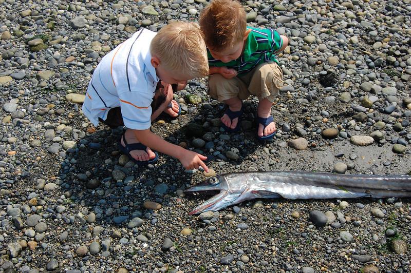 finding Longnose Lancetfish washed up on shores of Lopez Island