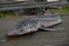 spiny dogfish shark, lopez